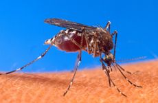 Mosquito (Aedes aegypti)